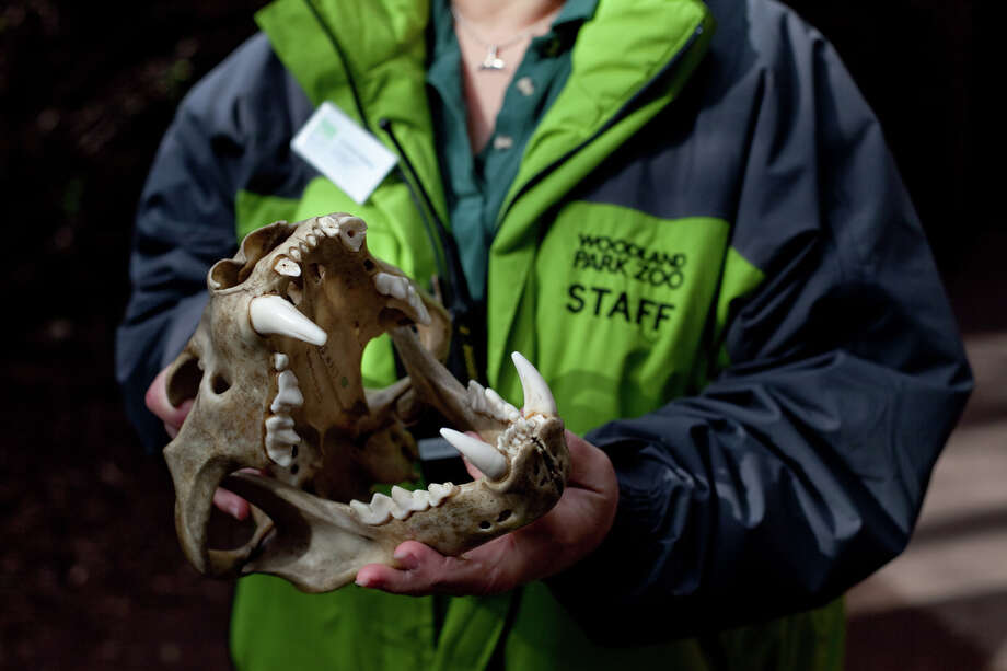 A Woodland Park Zoo staff member shows a lion skull as the lion cubs make their public debut on Saturday, February 16, 2013 at the zoo in Seattle. Born in November, the cubs have been acclimating to their exhibit. People have been able to catch glimpses of them in recent days, but this was the first day people could walk up to the window to view the cubs. Photo: JOSHUA TRUJILLO, SEATTLEPI.COM / SEATTLEPI.COM