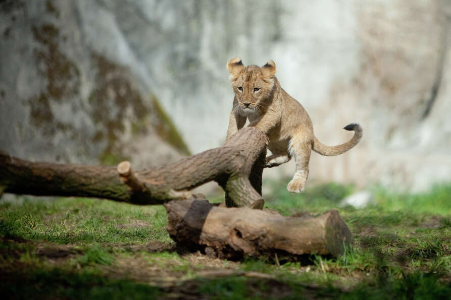 Woodland Park Zoo's new lion cubs make their public debut on Saturday, February 16, 2013 at the zoo