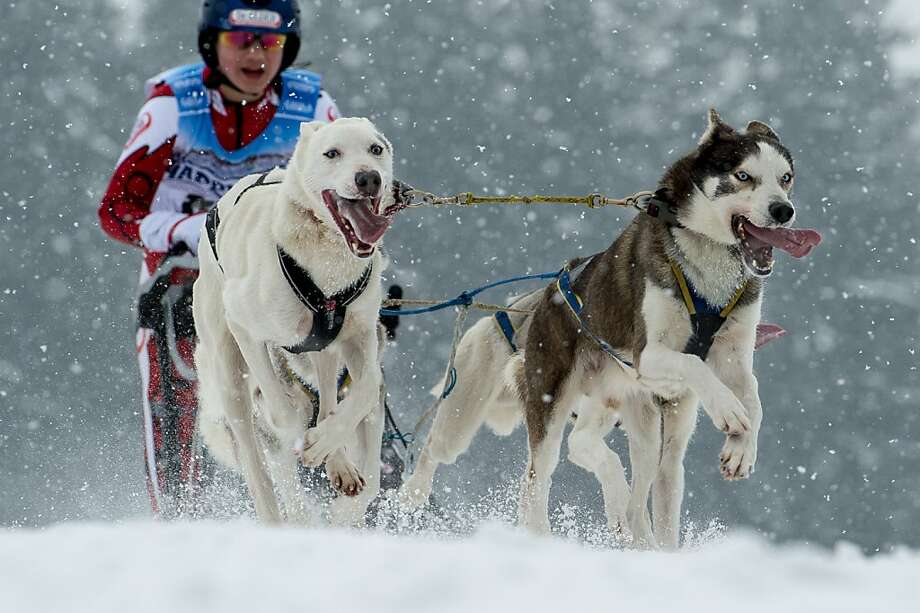 Sledge dogs pull their musher as they compete in the sledge dog European Championships in Haidmuehle, southern Germany, on February 16, 2013. Around 200 mushers with 2,000 dogs are taking part in the event. Photo: Armin Weigel, AFP/Getty Images