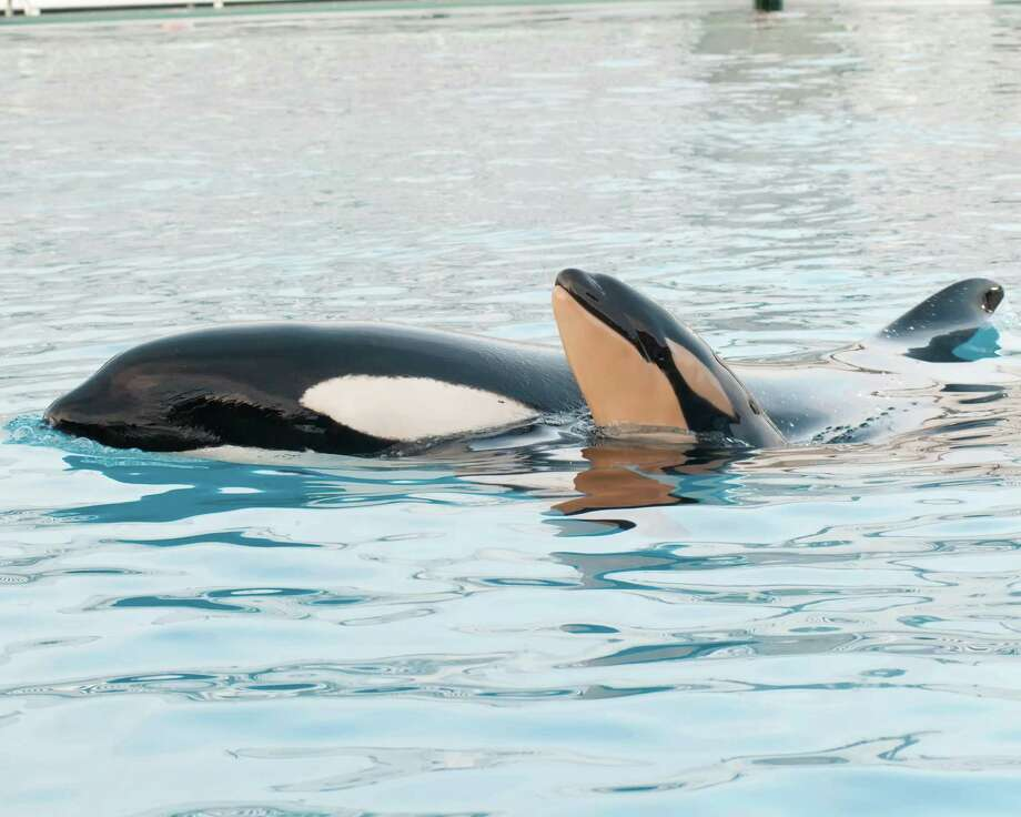 This image provided by SeaWorld San Diego shows mom and baby killer whale swimming together at SeaWorld San Diego's Shamu Stadium, Thursday in San Diego.  Photo: AP