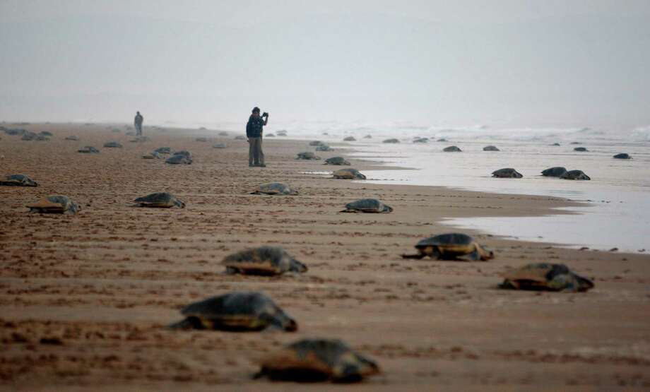 Olive Ridley turtles return to the Bay of Bengal sea after laying eggs at the Rushikulya river mouth beach in Ganjam district, 88 miles south of Bhubaneswar, India, Thursday. Olive Ridley turtles nest their eggs in parts of the Bay of Bengal Sea's Orissa coast. Photo: AP
