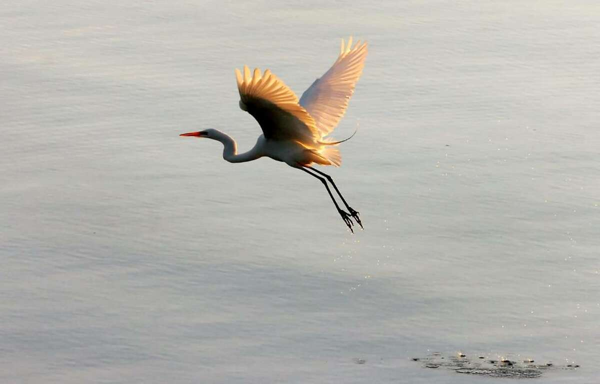 A herron takes flight along Cove Island Beach shortly after 5 AM on the Fourth of July.
