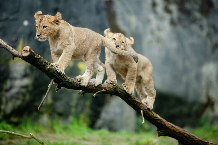 Two Woodland Park Zoo's four new lion cubs play on a tree branch as they make their public debut on Saturday, February 16, 2013 at the zoo in Seattle. Born in November, the cubs have been acclimating to their exhibit. People have been able to catch glimpses of them in recent days, but this was the first day people could walk up to the window to view the cubs. Photo: Joshua Trujillo, Seattlepi.com / seattlepi.com