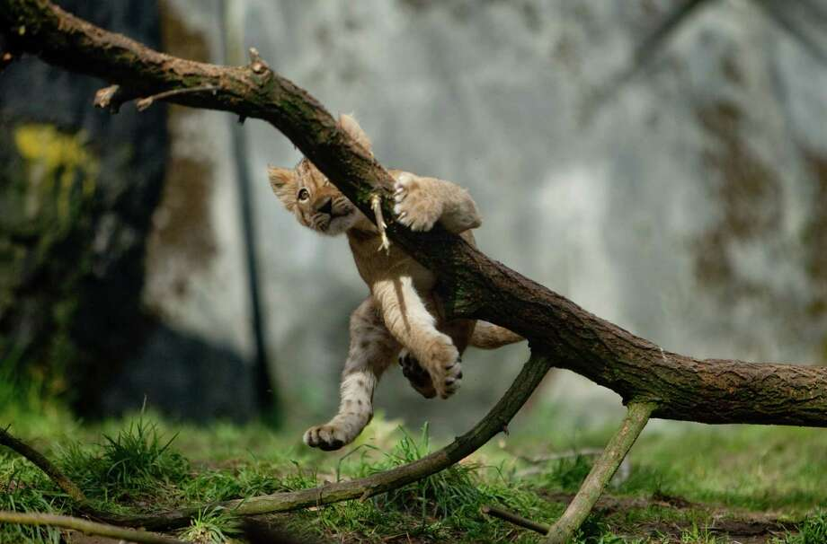 One of Woodland Park Zoo's new lion cubs falls from branch as they make their public debut on Saturday, February 16, 2013 at the zoo in Seattle. Born in November, the cubs have been acclimating to their exhibit. People have been able to catch glimpses of them in recent days, but this was the first day people could walk up to the window to view the cubs. Photo: Joshua Trujillo, Seattlepi.com / seattlepi.com