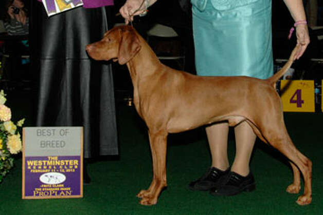 Mason, under his registered name, Regal Point Pinnacle of Kilauea, took best of breed for Vizslas at the Westminster Kennel Club dog show last week. The handsome hunter hails from Pinnacle Vizsla kennel in Orange. Photo: Courtesy