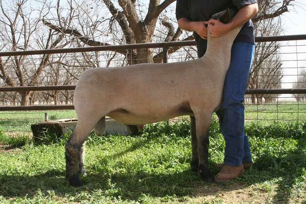 Maker, a 3-year-old Hampshire ram, is exceptionally above average, according to his owner. Also, he has his own pen. Photo: Courtesy Photo