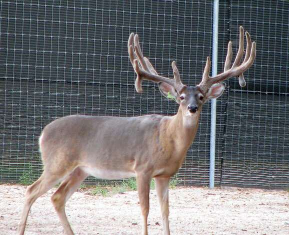 Rockstar, white-tailed buck, is frisky, with deep brown eyes that freeze when he sees headlights. He's got a big rack, measuring 31 ½ inches. Photo: Courtesy Photo