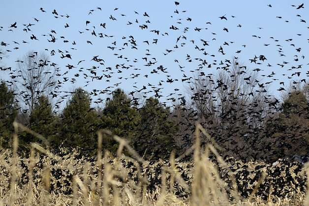 Red wing blackbirds congregate in a field along Chuch Road in Medford, N.J., on a cold Monday, Feb. 18, 2013. (AP Photo/Philadelphia Inquirer, Tom Gralish) Photo: Tom Gralish, Associated Press