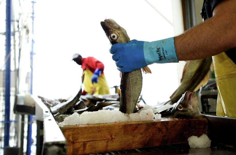 Populations of cod --- like this one being sorted in Gloucester, Mass --- and other species such as snapper and tuna are seriously depleted but continue to be over-fished, the Natural Resources Defense Council says. Photo: File Photo / NYTNS