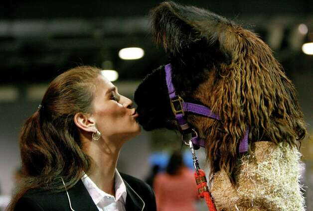 "Jessica Sneed of Navasota, kisses ""Oprah"" the llama before the start of  the Llama and Alpaca Costume and Halter show  at the Reliant Arena Sales Pavillion, during the Houston Livestock Show and Rodeo, Saturday, March 13, 2010, in Houston. ( Karen Warren / Chronicle ) Photo: Karen Warren, Houston Chronicle / Houston Chronicle"