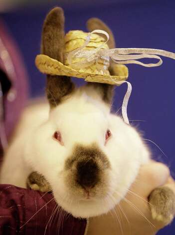 Costumed Californian rabbit owned by  Bree Justice of Aransas Pass during the Open Rabbit and Cavy costume contest at Reliant Center. Photo: Melissa Phillip, Chronicle / Houston Chronicle