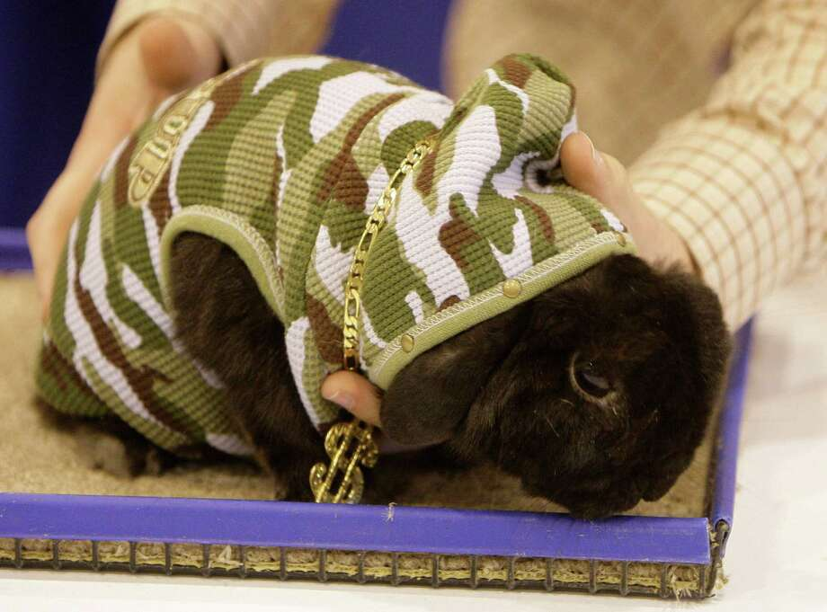 Holland Lop rabbit named Tar owned by  Jennifer Herbers of Sugar Land during the Open Rabbit and Cavy costume contest at Reliant Center, Sunday, March 22, 2009, in Houston. She titled her entry as 'Gangster Rabbit'.  She won third place in the best dressed contest. Photo: Melissa Phillip, Chronicle / Houston Chronicle