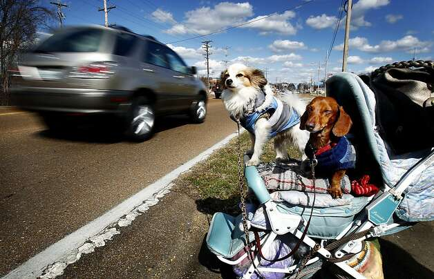 Stroller dogs Rumpelstiltskin and Sassafras wait for a break in traffic to cross Summer Street in Memphis, Tenn. Photo: Mark Weber, Associated Press