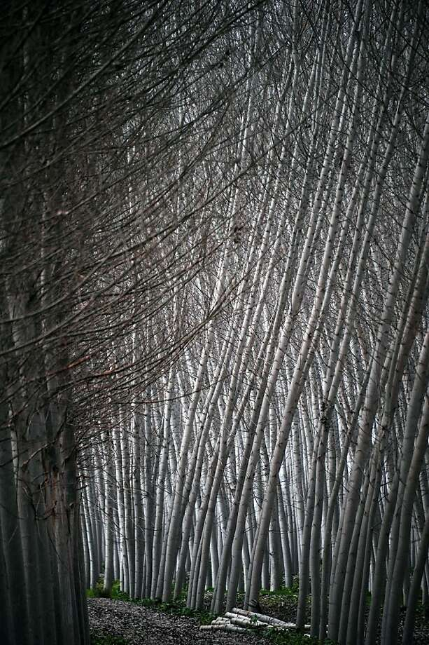 Poplar uprising:Black poplars grow closely together in Fuente Vaqueros, near Granada, Spain, creating a soaring wall of timber. Photo: Cristina Quicler, AFP/Getty Images