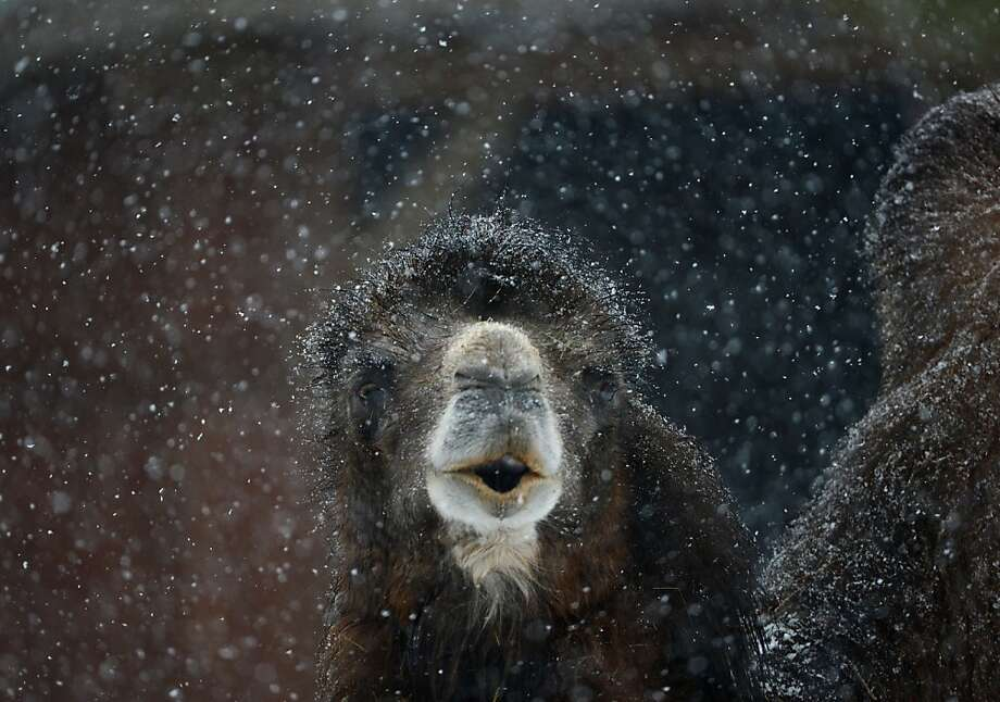 A camel stands in the snow on February 19, 2013 at the zoo in Frankfurt am Main, western Germany.  Photo: Arne Dedert, AFP/Getty Images