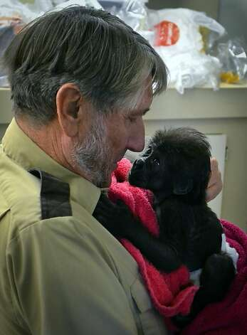 Are you my dad? A baby gorilla looks up at zoo director Jerry Stones at the Gladys Porter Zoo in Brownsville, Texas. The little ape born last month has been ignored by her mother, so the zoo is sending her to an Ohio zoo where she will be introduced to a new troop. Photo: Christian Rodriguez, Associated Press