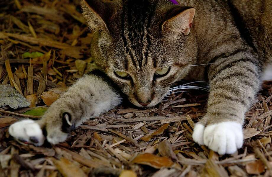 Redundant claws - so unlike Hemingway: The story goes that a ship's captain once gave a white cat with six toes to Ernest Hemingway. Today, several of the cats that live in his home, now a museum in Key West, Fla., have six toes, including this tabby. They are believed to be descendants of the original six-toer, whom Hemingway called Snowball. Photo: Karen Bleier, AFP/Getty Images