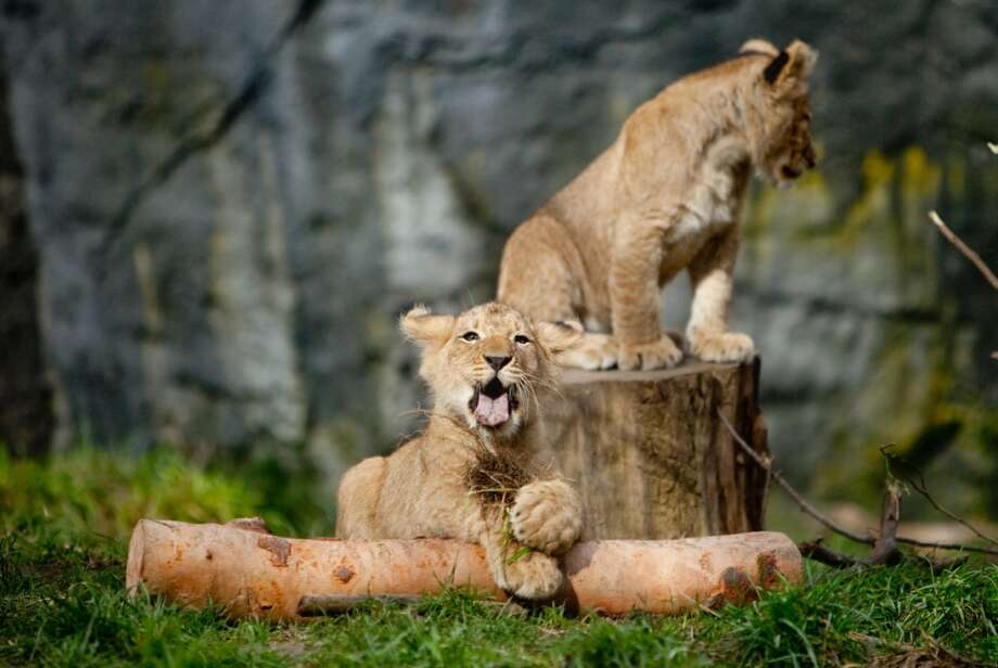 Two of Woodland Park Zoo's new lion cubs make their public debut on Saturday, February 16, 2013 at the zoo in Seattle. Born in November, the cubs had been acclimating to their exhibit.