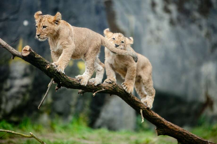 Two of Woodland Park Zoo's new lion cubs climb on a branch during their public debut on Saturday, February 16, 2013.
