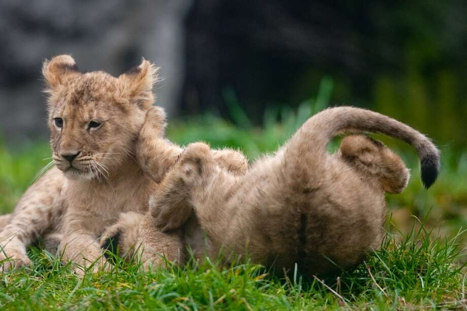 Two of the lion cubs play in the grass.
