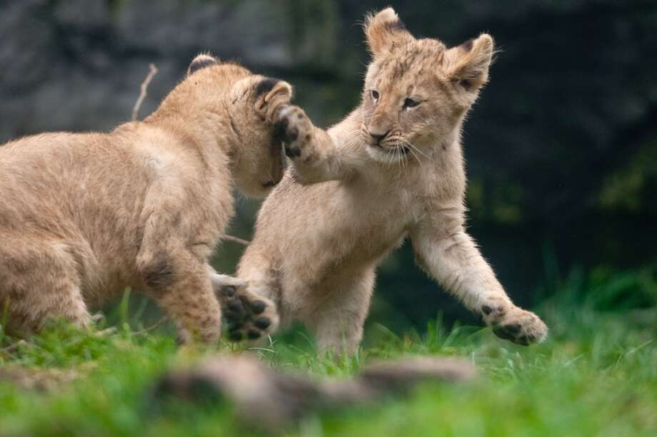 Two of Woodland Park Zoo's four new lion cubs have some fun.
