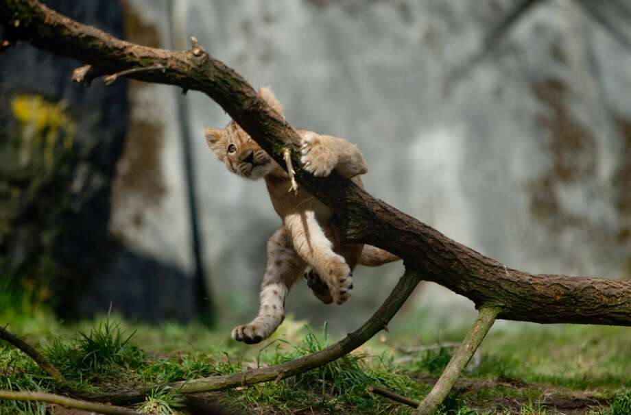 One of Woodland Park Zoo's new lion cubs falls from branch as they make their public debut on Saturday, February 16, 2013.