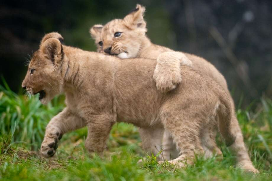 Two of Woodland Park Zoo's four new lion cubs explore their enclosure during a brief trip outside.
