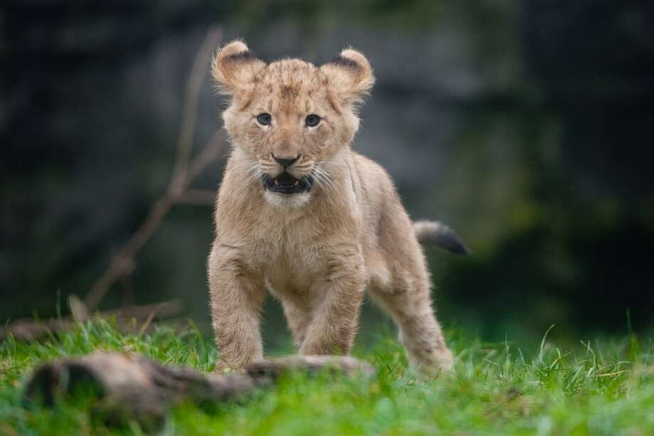 One of Woodland Park Zoo's four new lion cubs explores the enclosure during a brief trip outside.