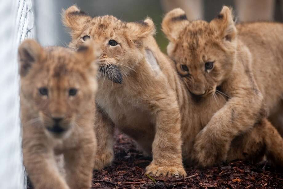 Woodland Park Zoo's four new lion cubs explore their enclosure during a brief trip outside on Saturday, February 2, 2013.