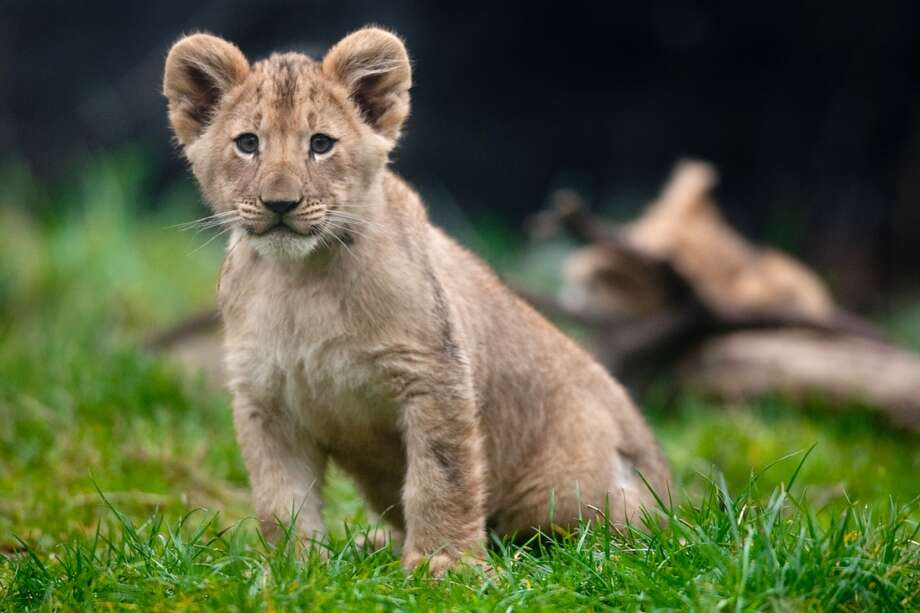 Woodland Park Zoo's four new lion cubs explore their enclosure during a brief trip outside.