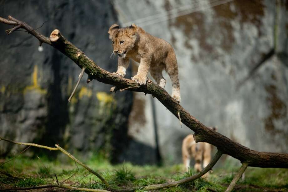 Woodland Park Zoo's new lion cubs make their public debut.
