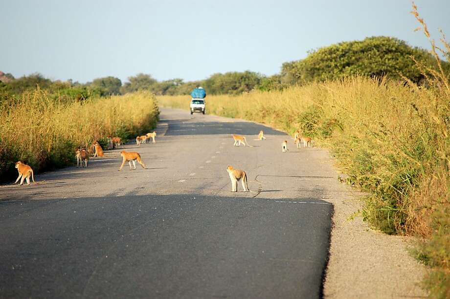 A picture taken in October 2008 shows monkeys walking on a road at the Waza natural Park, in northern Cameroon. Seven French tourists, apparently three adults and four children, were kidnapped on February 19, 2013 by unidentified men in northern Cameroon, near the border with Nigeria, a source close to the French embassy in Yaounde said. An anonymous source in Waza park said the tourists went to visit the park yesterday. AFP PHOTO/MARC PREELMARC PREEL/AFP/Getty Images Photo: Marc Preel, AFP/Getty Images