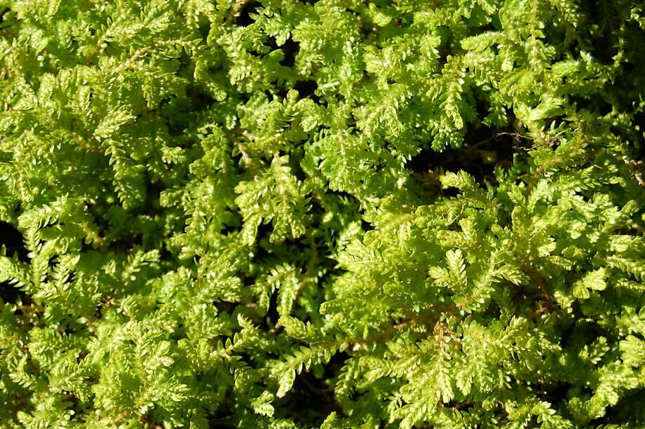 Gold-tip spikemoss offers both function and beauty - a low-growing carpet of easy-care ground cover. Photo: Erle Nickel