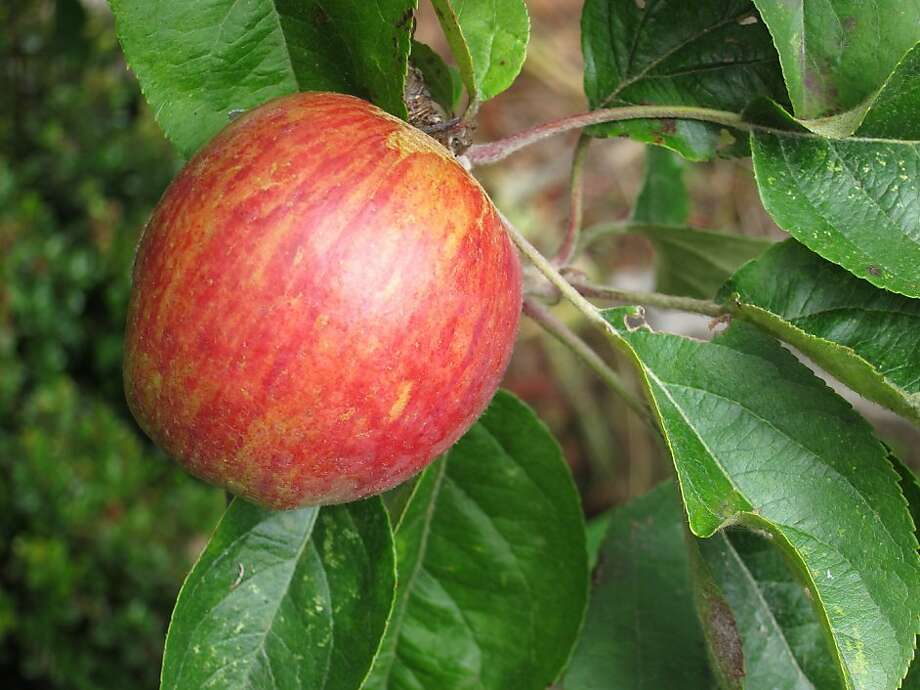 Thinning apples to one fruit at a site denies the codling moth one of its favorite havens for laying eggs, the place where two apples touch. Continue to pick up apples when they fall throughout the season. Photo: Pam Peirce