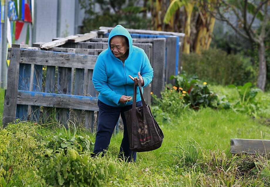 Saeng Dohngdara harvests crops in December from her plot in the Verde Elementary School Partnership Garden in Richmond. Photo: Paul Chinn, The Chronicle