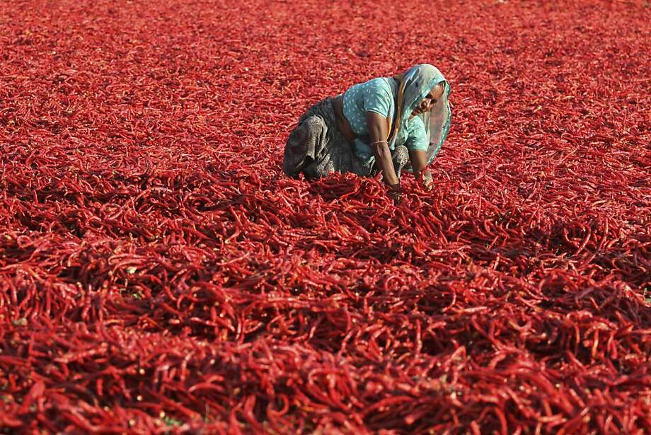 An Indian laborer sun dries red chilies at Shertha village, outskirts of Ahmadabad, India, Tuesday, Feb. 19, 2013. Millions of Indians earn their livelihood from agriculture. Photo: Ajit Solanki, Associated Press