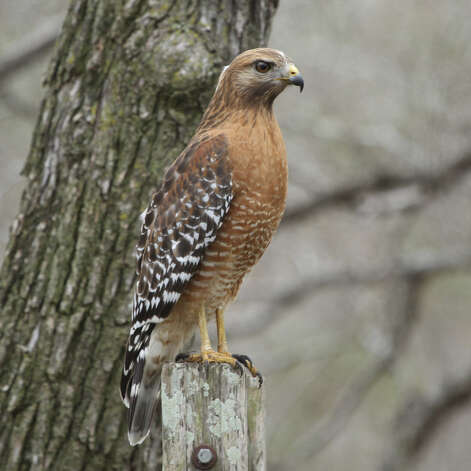 This red-shouldered hawk is one of a pair spending the winter around Geronimo Creek. Photo: Forrest Mims III / For The Express-News