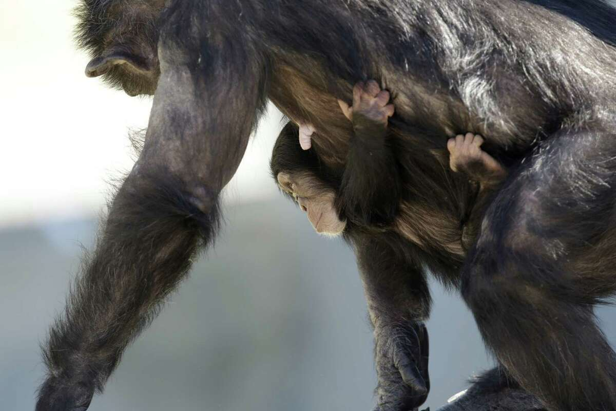 A mother chimp carries her baby at Chimp Haven in Keithville, La., Tuesday, Feb. 19, 2013. One hundred and eleven chimpanzees will be coming from a south Louisiana laboratory to Chimp Haven, the national sanctuary for chimpanzees retired from federal research.