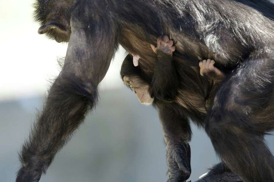 A mother chimp carries her baby at Chimp Haven in Keithville, La., Tuesday, Feb. 19, 2013. One hundred and eleven chimpanzees will be coming from a south Louisiana laboratory to Chimp Haven, the national sanctuary for chimpanzees retired from federal research. Photo: Gerald Herbert, AP / AP