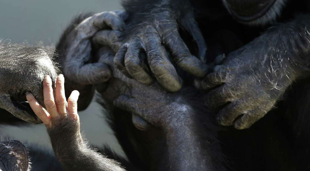 A baby chimp's hands, left, is seen touching the hands of other chimps at Chimp Haven in Keithville, La., Tuesday, Feb. 19, 2013. One hundred and eleven chimpanzees will be coming from a south Louisiana laboratory to Chimp Haven, the national sanctuary for chimpanzees retired from federal research.