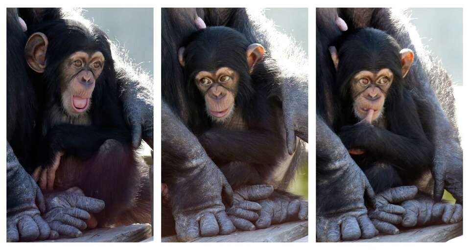 In this three picture combo, a baby chimp shows a variety of expressions as it sits in its mother's