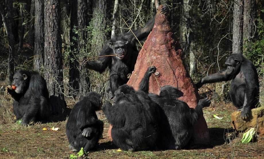 Chimps use sticks to poke into a mock termite mound to taste a sweet substance placed in the mound by keepers at Chimp Haven in Keithville, La., Tuesday, Feb. 19, 2013. One hundred and eleven chimpanzees will be coming from a south Louisiana laboratory to Chimp Haven, the national sanctuary for chimpanzees retired from federal research. Photo: Janet McConnaughey, AP / AP
