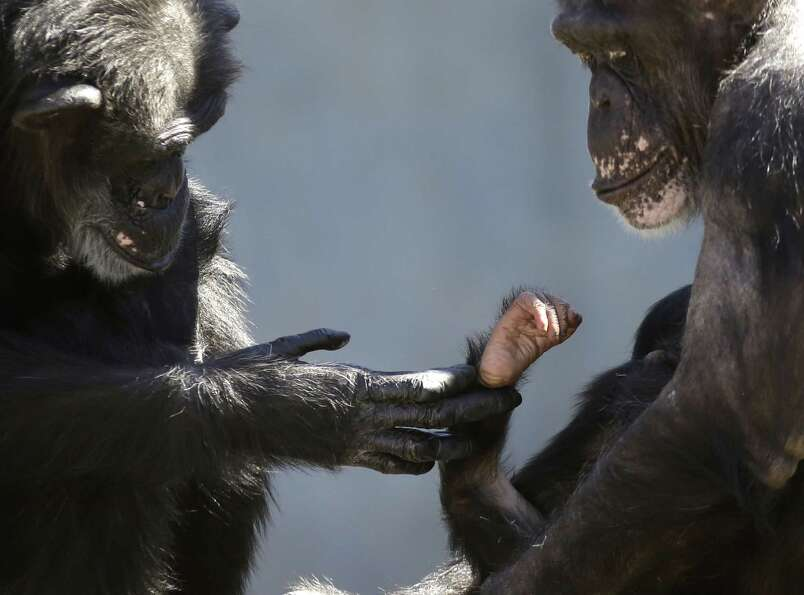 A chimp, left, identified as an 'auntie,' touches the hand of a baby chimp cradled in the arms of it