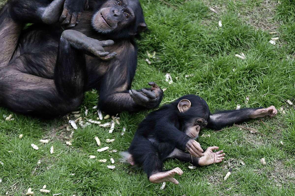 An adult chimp plays with a young chimp at Chimp Haven in Keithville, La., Monday, Feb. 18, 2013. One hundred and eleven chimpanzees will be coming from a south Louisiana laboratory to Chimp Haven, the national sanctuary for chimpanzees retired from federal research.