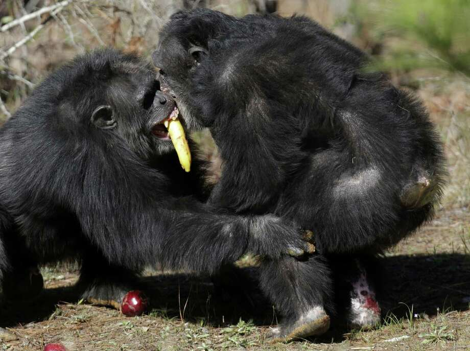 Two chimps tussle for food at Chimp Haven in Keithville, La., Tuesday, Feb. 19, 2013. One hundred and eleven chimpanzees will be coming from a south Louisiana laboratory to Chimp Haven, the national sanctuary for chimpanzees retired from federal research. Photo: Gerald Herbert, AP / AP