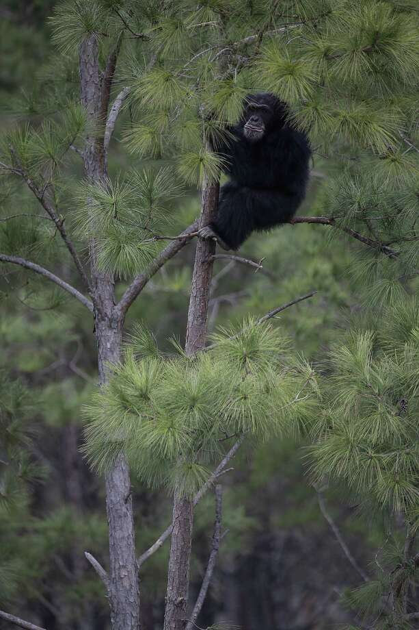 A chimp climbs a pine tree at Chimp Haven in Keithville, La., Monday, Feb. 18, 2013. One hundred and eleven chimpanzees will be coming from a south Louisiana laboratory to Chimp Haven, the national sanctuary for chimpanzees retired from federal research. Photo: Gerald Herbert, AP / AP