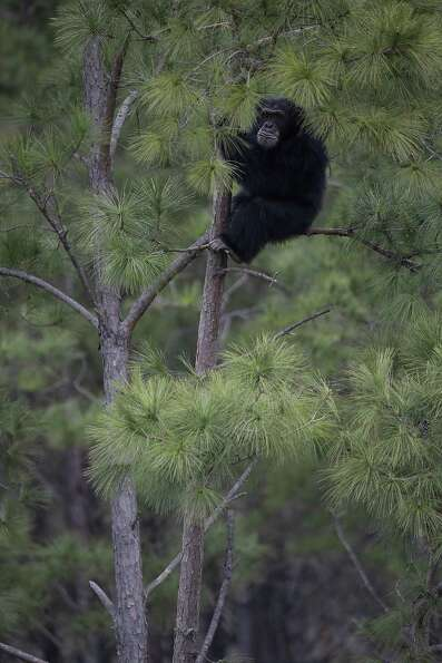A chimp climbs a pine tree at Chimp Haven in Keithville, La., Monday, Feb. 18, 2013. One hundred and
