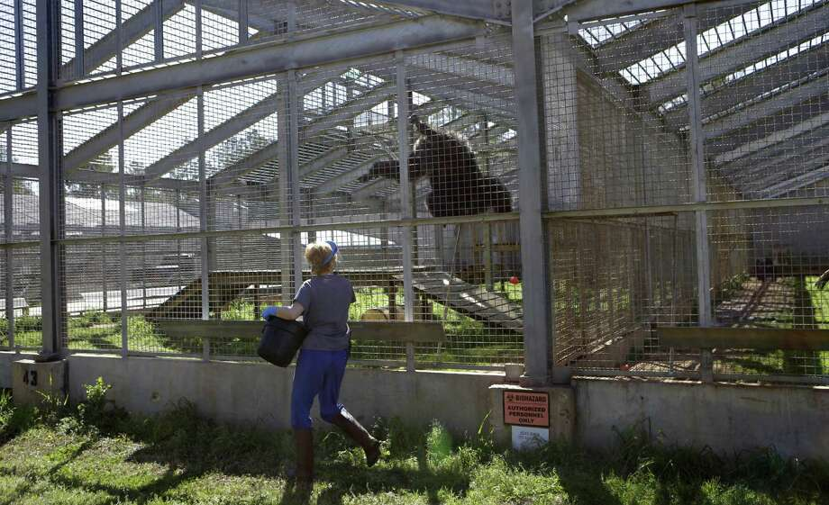 Adrienne Mrsny, an animal care specialist, feeds chimps in a section reserved for HIV infected chimps at Chimp Haven in Keithville, La., Tuesday, Feb. 19, 2013. One hundred and eleven chimpanzees will be coming from a south Louisiana laboratory to Chimp Haven, the national sanctuary for chimpanzees retired from federal research. Photo: Gerald Herbert, AP / AP