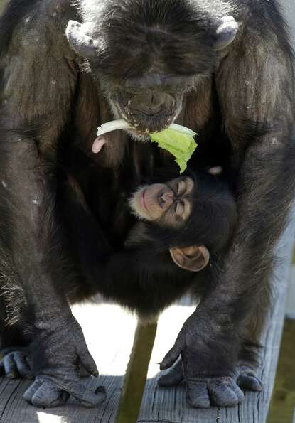 A mother chimp holds a piece of lettuce in her mouth as she carries her baby at Chimp Haven in Keith