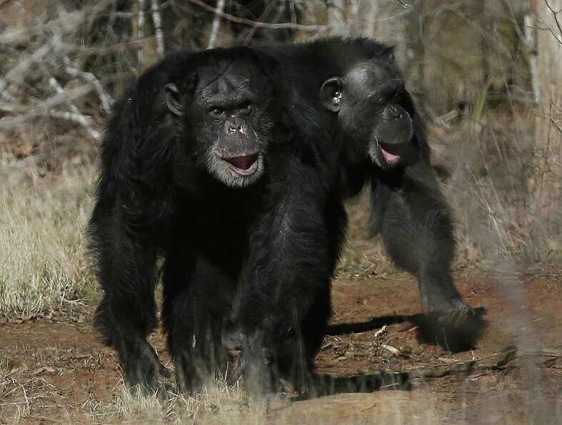 Two chimps walk together at Chimp Haven in Keithville, La., Tuesday, Feb. 19, 2013. One hundred and